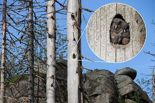 Rauhfußkäuzchen im Totholz